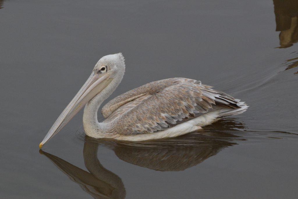 fåglar gambia