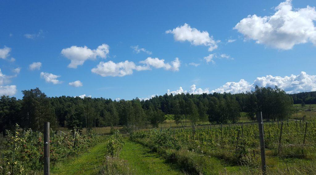 tammiluoto vingård